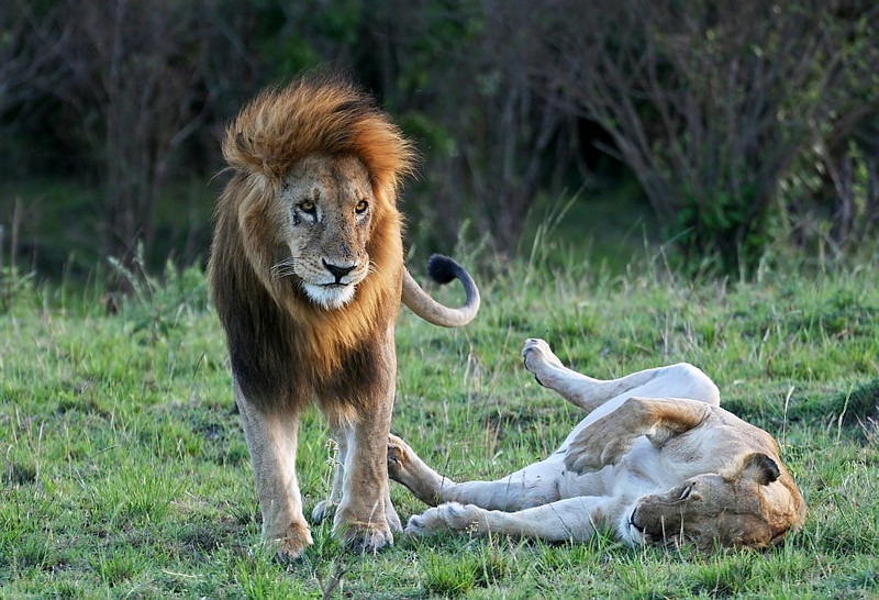 Lion and Lioness <br /> <br /> Picture taken in Masai Mara National Park, Kenya