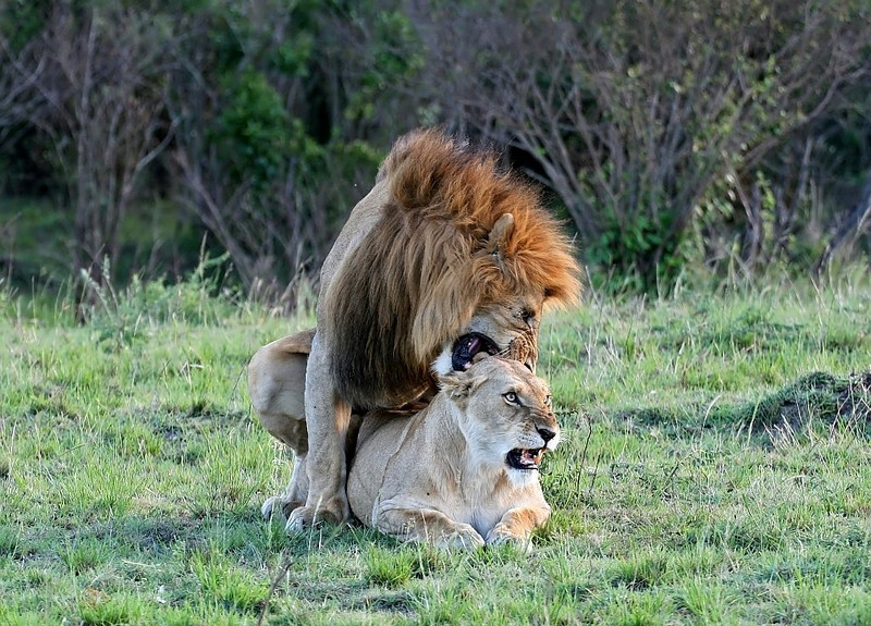Mating Lions in Masai Mara<br /> <br /> Picture taken in Masai Mara National Park, Kenya