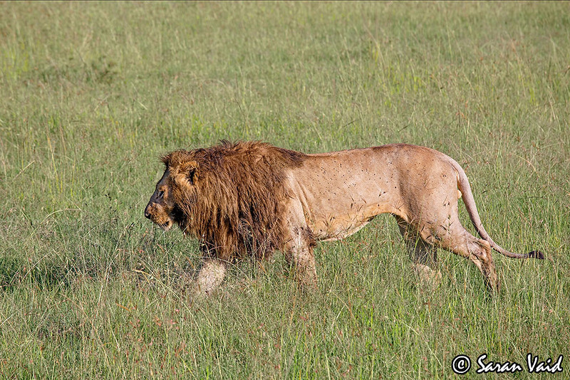 Dominant Male Lion walking<br /> <br /> Picture taken in Masai Mara National Park, Kenya