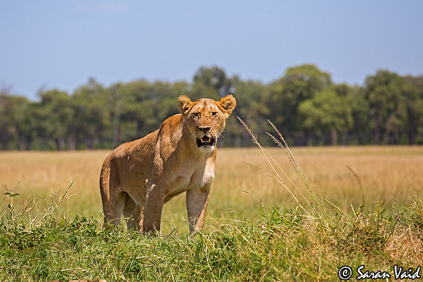 Lioness standing  on a mound.  Picture taken in Masai Mara National Park, Kenya