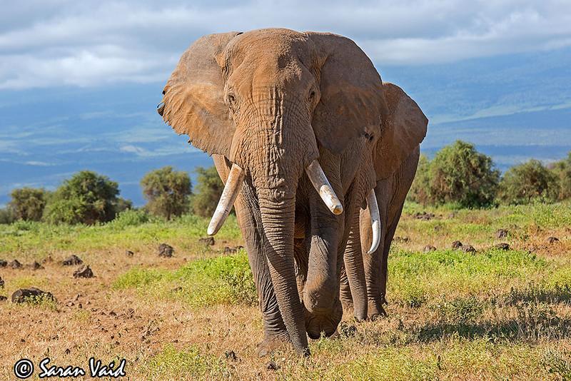 A Huge Tusker of Amboseli.<br /> <br /> Picture taken in Amboseli National Park, Kenya