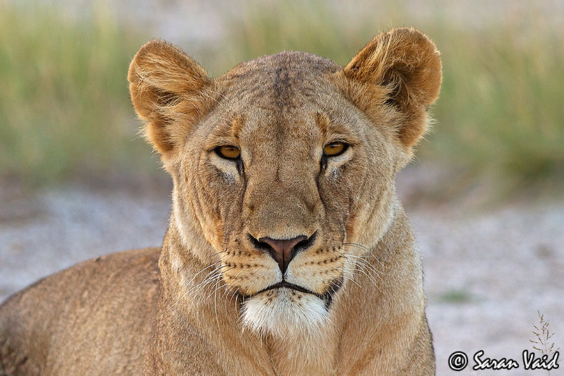 Lioness Portrait!!<br /> <br /> Portrait of a beautiful lioness in Amboseli National Park, Kenya