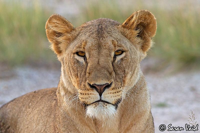 Lioness Portrait!!<br /> <br /> Portrait of a beautiful lioness in Amboseli National Park, Kenya