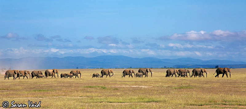 The Parade.  A massive herd of African Elephants marching across the savannah of Amboseli.   Picture taken in Amboseli National Park, Kenya