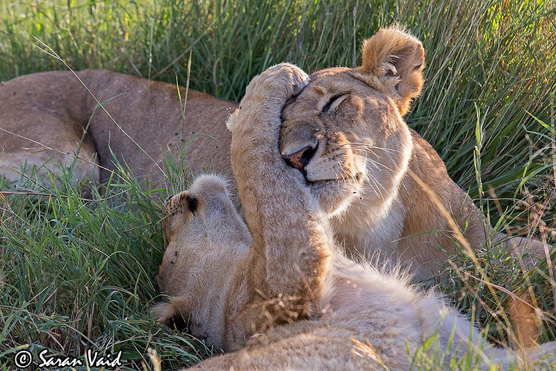 Tenderness!!<br /> <br /> A young lion cub showing affection towards his mother.<br /> <br /> <br /> Picture taken in Masai Mara National Park, Kenya