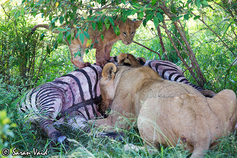 Lioness is enjoying a Zebra kill. A Cub is standing on the top of the carcass. <br /> <br /> Picture taken in Masai Mara National Park, Kenya