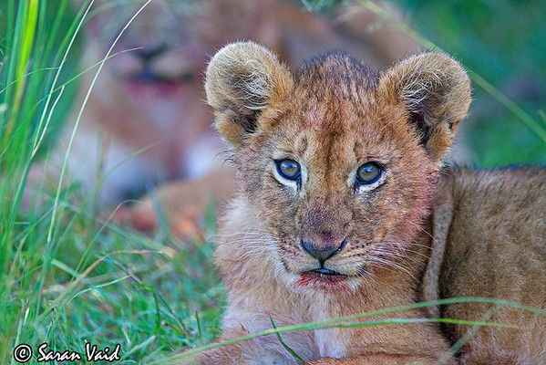 Lion Cub  A Lion cub with a bloody face stares at the camera in Masai Mara National Park, Kenya