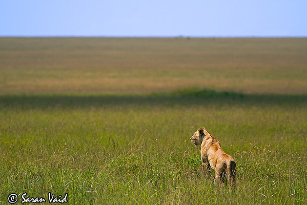 Lionscape  Lioness on the lookout in Masai Mara  Picture taken in Masai Mara National Park, Kenya