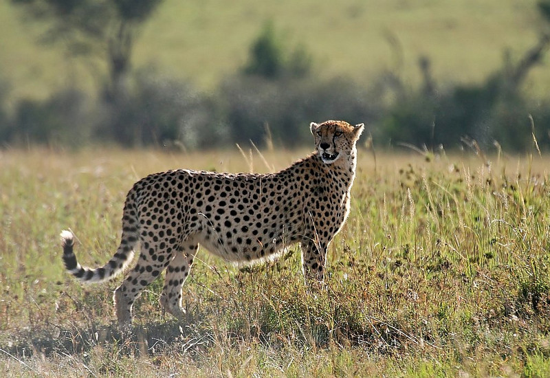A pregnant Cheetah on a lookout for food.<br /> <br /> Picture taken in Masai Mara National Park, Kenya