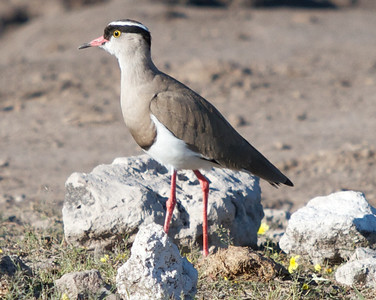 Bright Eyed Crowned Plover Lapwing