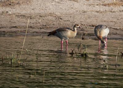 Egyptian Geese - Chobe