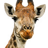 Giraffe portrait, large with a white background
