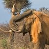 Old Kruger Bull