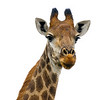 Giraffe portrait with a white background