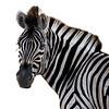 Zebra portrait with a white background.