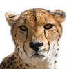 Cheetah portrait with white background