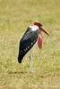 The Last of the pecking order (Marabou Stork)