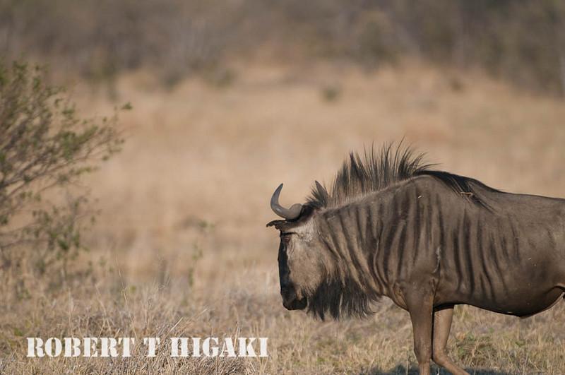 Blue Wildebeest( Connochaetes taurinus)