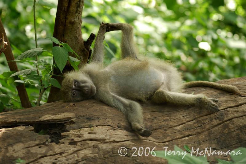 Baboon Lounging