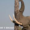 elephant shaking tree
