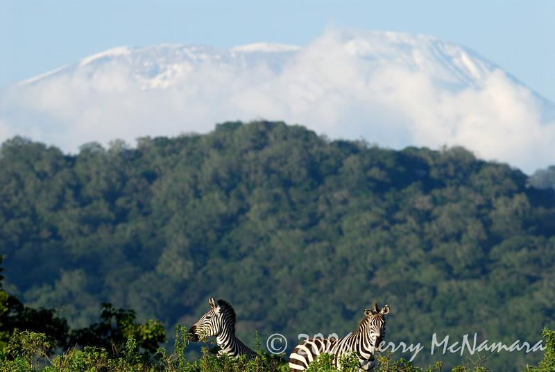 Zebra's under Mt. Kilimanjaro