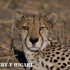 Cheetah near Linyanti camp( I did manage to pinpoint the camp)