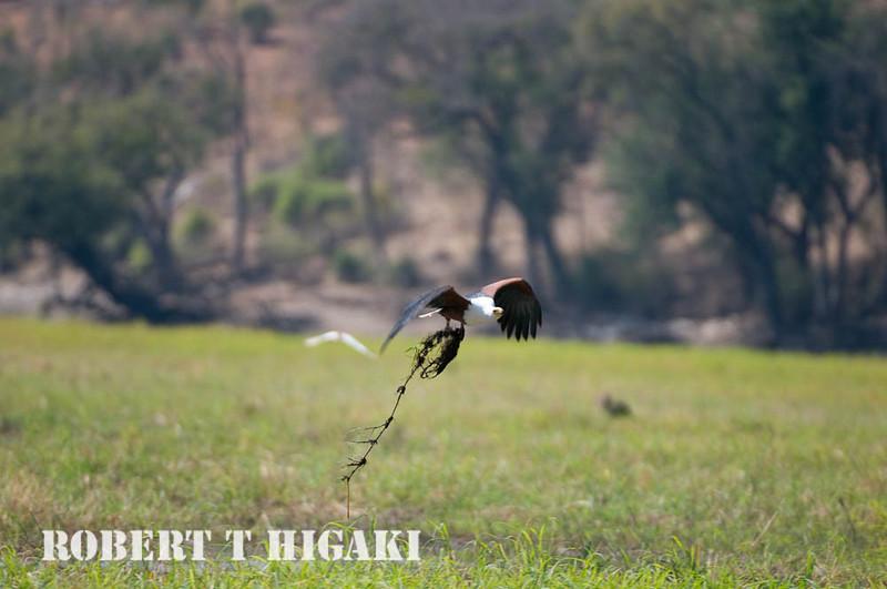 African Fish-Eagle( Haliaeetus vocifer)