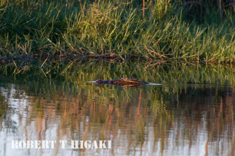 Crocodile with reflections
