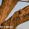 Leopard( Panthera pardus)