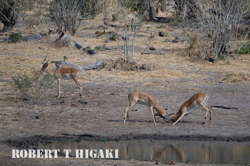 Impala( Aepyceros melampus) ; shot from my room at Savuti