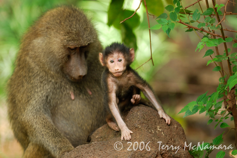 Baby Baboon & Mother
