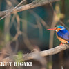 Malachite Kingfisher( alcedo cristata); shot off a boat on the Zambezi river.