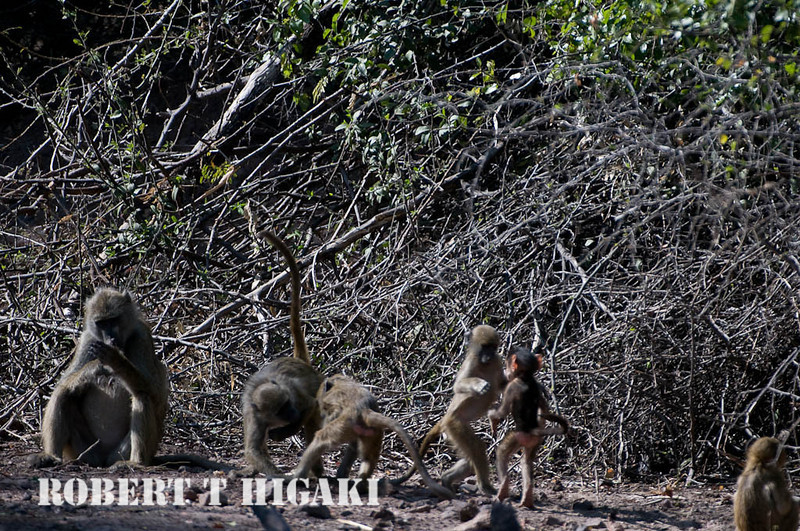 Apologies for not a tack sharp picture but it is the only one I have of Baboons doing the Cha-cha.