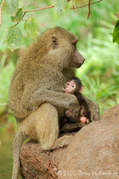 Baboon Nursing