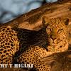Leopard ( Panthera pardus) near Kwetsani camp, Botswana