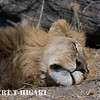 Lion ( Panthera leo)