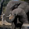 African Elephant( Loxodonta africana)