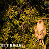 Vervet Monkey( Ceropithecus aethiops)
