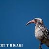 Red-Billed Hornbill ( Tockus erythrorhynchus)