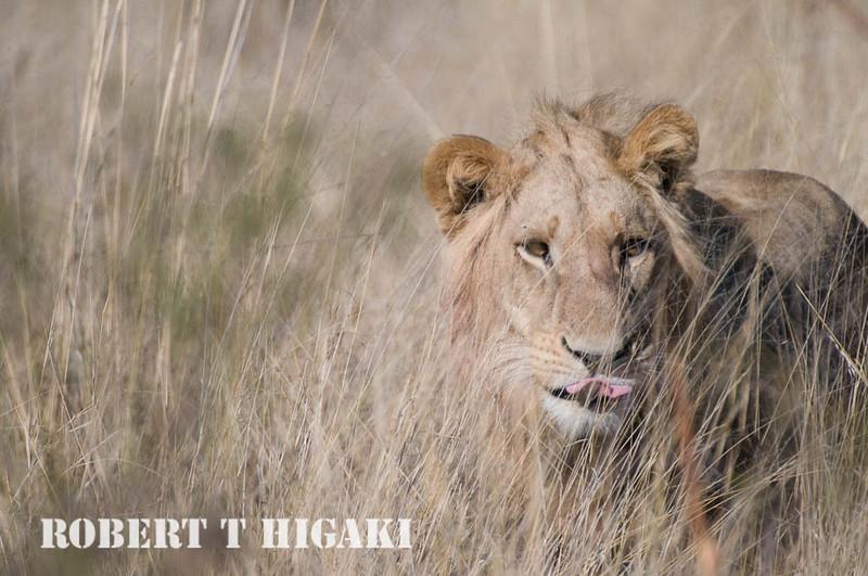young male lion( Tubu camp), Botswana