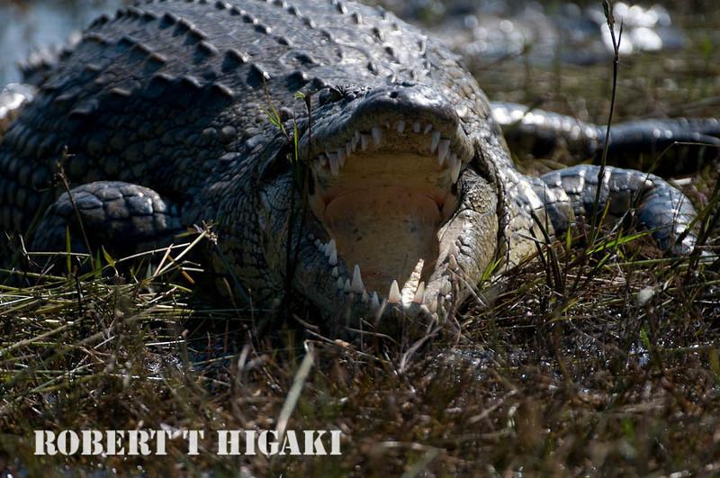 Crocodile( crocodilia crocodylidae)