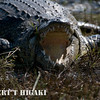 Crocodile( crocodilia crocodylidae)