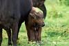 Cape Buffalo & new born (born within 24hrs)