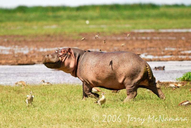 The Hippo Trot