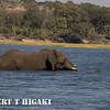 African Elephant( Loxodonta africana_