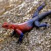 Patriotic Lizard