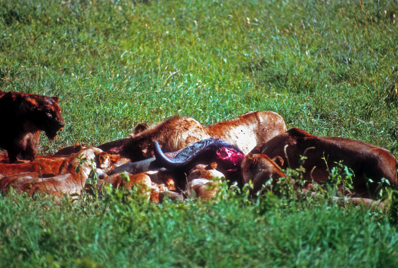 Finishing off a buffalo lunch