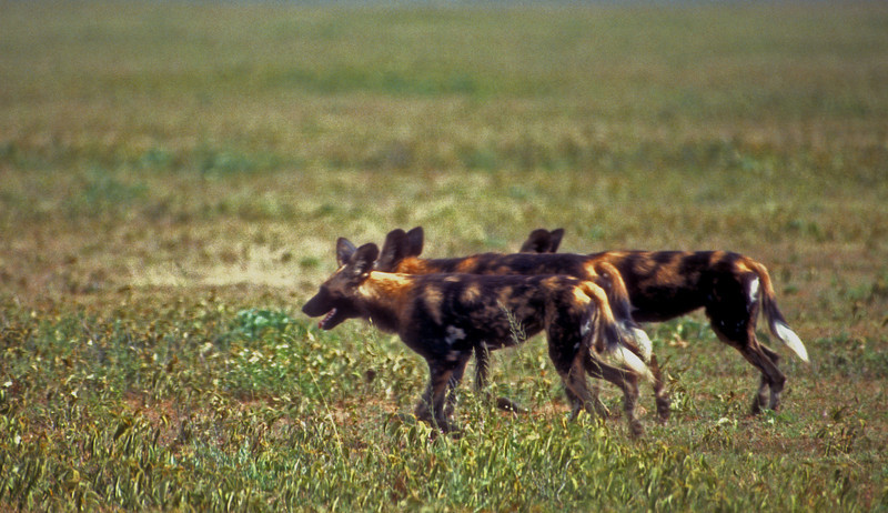 Wild dogs cross the Serrengetti