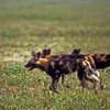 Wild dogs cross the Serrengetti