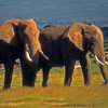 Elephants in Amboseli